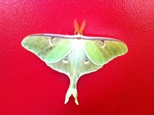 First spring baby luna moth